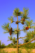 Serene Pyrography Posters - A small pine tree with cones Poster by Volodymyr Chaban