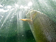 Cutthroat Trout Photo Prints - A Snake River Fine Spotted Cutthroat Print by Drew Rush