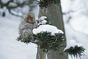 Macaques Prints - A Snow-covered Japanese Macaque Perched Print by Tim Laman
