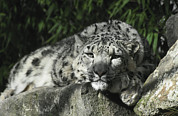 Ledge Photo Posters - A Snow Leopard Takes Time Out To Rest Poster by Jason Edwards