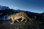 Refuges Posters - A Snow Leopard Traverses A Rocky Slope Poster by Steve Winter