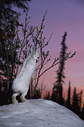 Snow Scenes Prints - A Snowshoe Hare Nibbling On Tender Print by Michael S. Quinton