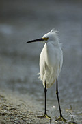 Egretta Thula Photos - A Snowy Egret On Floridas Gulf Coast by Klaus Nigge