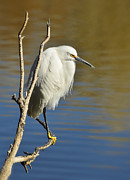 Snowy Egret Framed Prints - A Snowy Egret  Framed Print by Saija  Lehtonen