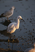 Egretta Thula Photos - A Snowy Egret Standing On A Submerged by Tom Murphy
