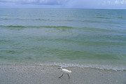 Egretta Thula Photos - A Snowy Egret Walks Along The Beach by Joel Sartore