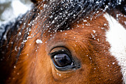 Forelock Photo Posters - A Snowy Eye Poster by Leaetta Mitchell