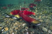 Rock Groups Framed Prints - A Sockeye Salmon Also Called Red Salmon Framed Print by Paul Nicklen