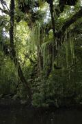 Kosrae Island Prints - A Sonneratia Mangrove Tree Laden Print by Tim Laman
