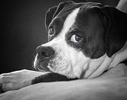 Boxer Dog Framed Prints - A Soulful Expression Framed Print by Steve Benefiel