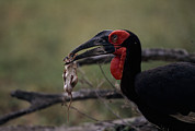 Survival Prints - A Southern Ground Hornbill Prepares Print by Tim Laman