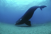 Right Side Photo Framed Prints - A Southern Right Whale Hovers Inches Framed Print by Brian J. Skerry