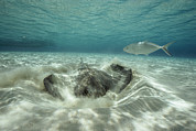 Southern Stingrays Posters - A Southern Sting Ray Burrowing Poster by Bill Curtsinger
