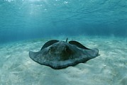Turks And Caicos Islands Photos - A Southern Stingray, Dasyatis by Brian J. Skerry
