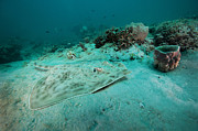A Southern Stingray On The Sandy Bottom Print by Michael Wood