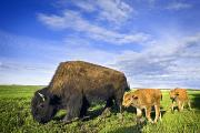 The Big Three Posters - A Sow Bison Guides Her Calves On A Walk Poster by Richard Wear