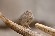 Desert Dome Photos - A Speckled Mousebird Colius Striatus by Joel Sartore