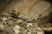 Henry Doorly Zoo Prints - A Speckled Rattlesnake At The Henry Print by Joel Sartore