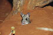 Mice Photos - A Spinifex Hopping Mouse In Its Burrow by Jason Edwards