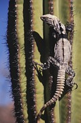 Lizards Photos - A Spiny-tailed Iguana Climbing A Cardon by Ralph Lee Hopkins
