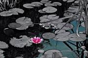Lilly Pond Photos - A Splash of Color by Robert Harmon