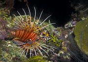Colorful Tropical Fish  Photos - A Spotfin Lionfish Flares Its Dorsel by Michael Wood