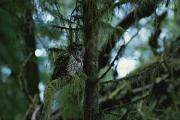 And Threatened Animals Framed Prints - A Spotted Owl Perched Framed Print by James P. Blair