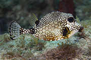 Tropical Climate Photos - A Spotted Trunkfish, Key Largo, Florida by Terry Moore