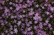 Phlox Framed Prints - A Spray Of Purple Phlox Flowers Fills Framed Print by James P. Blair