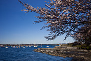 Boats On Water Photo Posters - A Spring Day With Blossoms Covering Poster by Taylor S. Kennedy
