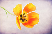 Fresh Green Posters - A Spring Tulip Poster by Darren Fisher