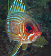 Swimming Fish Framed Prints - A Squirrelfish Turns And Looks Close Framed Print by Michael Wood