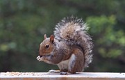Sharon Spade - Kingsbury - A Squirrel