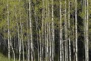 Wolf Creek Metal Prints - A Stand Of Aspen Trees At Wolf Creek Metal Print by Rich Reid