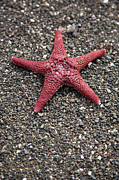 A Starfish On A Beach Print by Tobias Titz