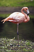 Bronx Posters - A Statuesque Greater Flamingo Poised Poster by Jason Edwards