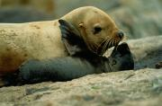 Refuges Photos - A Steller Sea Lion Cow Eumetopias by Joel Sartore