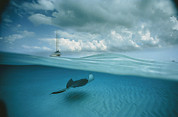 Caribbean Sea Framed Prints - A Stingray And Sailboat In North Sound Framed Print by David Doubilet