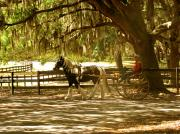 Carriage Horse Photos - A Stroll In The Park by Adele Moscaritolo