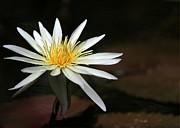 Sabrina L Ryan - A Stunning White Water Lily