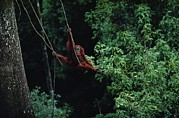 Orangutans Photos - A Subadult Male Orangutan Uses Vines by Michael Nichols