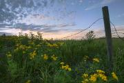 Barbed Wire Fences Acrylic Prints - A Summer Evening Sky With Yellow Tansy Acrylic Print by Dan Jurak