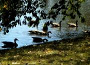 Canadian Geese Digital Art - A Summer Swim by Mindy Newman
