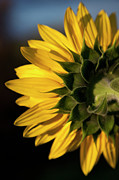 Mystery Tapestries Textiles Prints - A Sunflower Close-up, Rear View Print by Tobias Titz