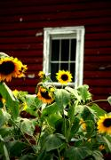 Flowers Sunflowers Barn Prints - A Sunflower Kind Of Day Print by Emily Stauring