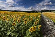 Cobblestones Posters - A Sunny Sunflower Day Poster by Debra and Dave Vanderlaan