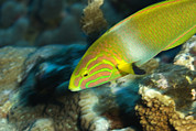 Kosrae Island Prints - A Sunset Wrasse Swimming Print by Tim Laman