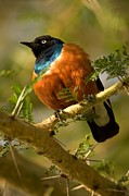 Tree. Acacia Posters - A Superb Starling Perched On An Acacia Poster by Roy Toft