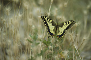Pods Framed Prints - A Swallowtail Butterfly Perched Framed Print by Klaus Nigge
