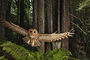 Habitats Prints - A Tagged Northern Spotted Owl Print by Michael Nichols